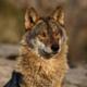 Wolf41100