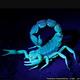 scorpion_blue