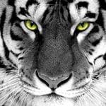 tiger4300