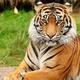 hot_tiger