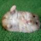 Hamsterblume