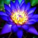 lotus_juice